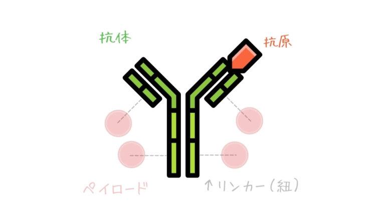 モノクローナル抗体部の役割