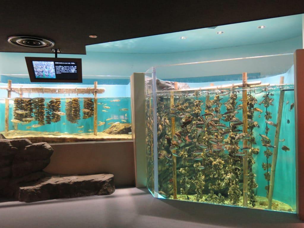 西洋と日本の牡蠣の養殖