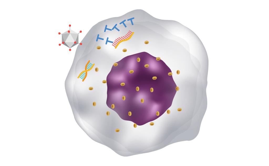 改造アデノウイルス(AZD1222)感染にした細胞のイメージ