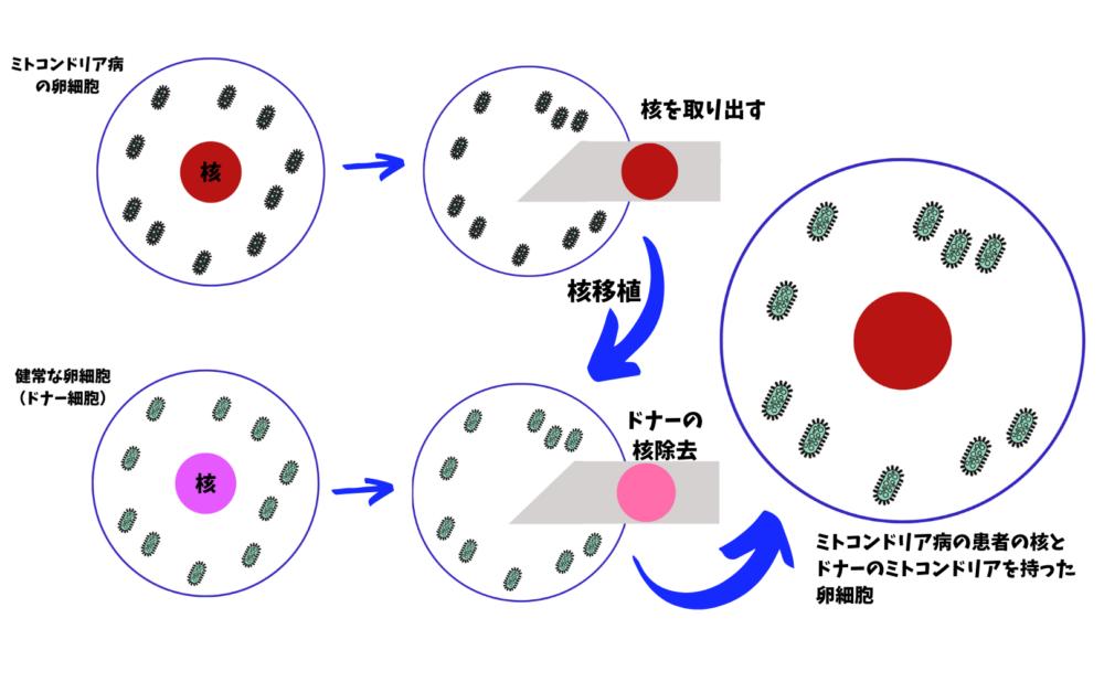 ミトコンドリア置換療法の概要