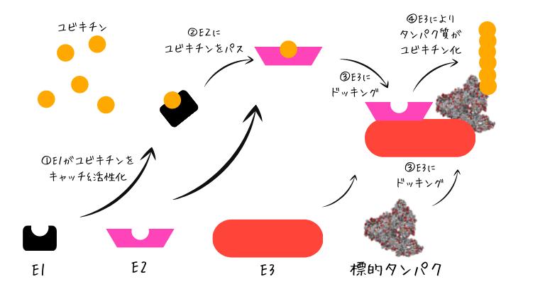 ユビキチン-プロテアソームシステムのメカニズム